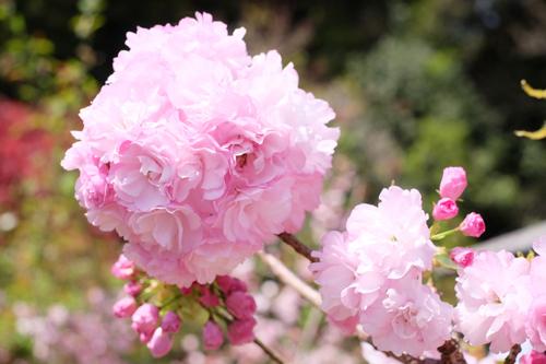 20160417桜4