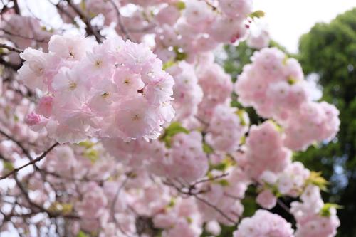 20160416桜1