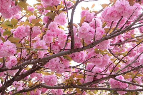 20160416桜2