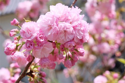 20160417桜3