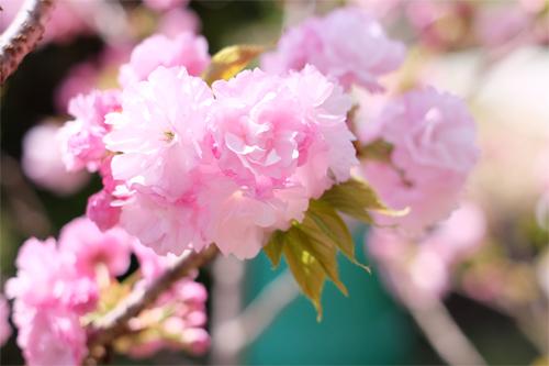 20160417桜2