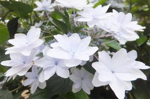 20160617紫陽花