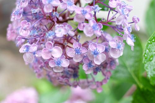 2016紫陽花6
