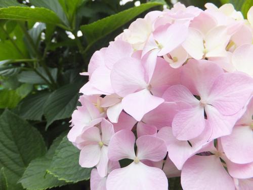 20160615紫陽花