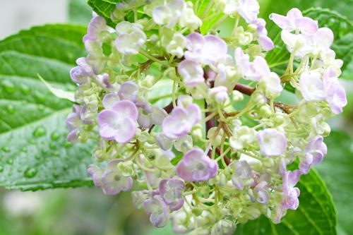 20160605紫陽花
