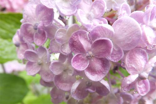 2016紫陽花1