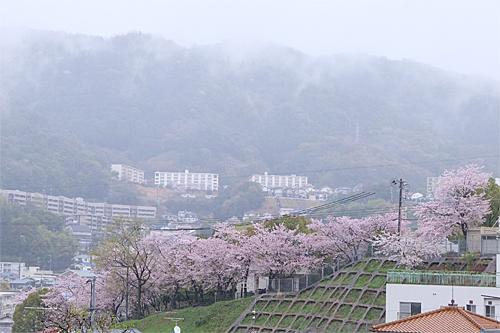 20170411桜