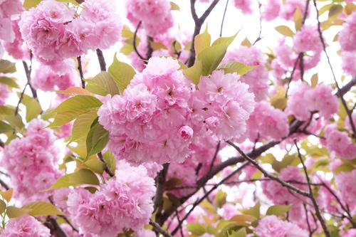 20170420八重桜2