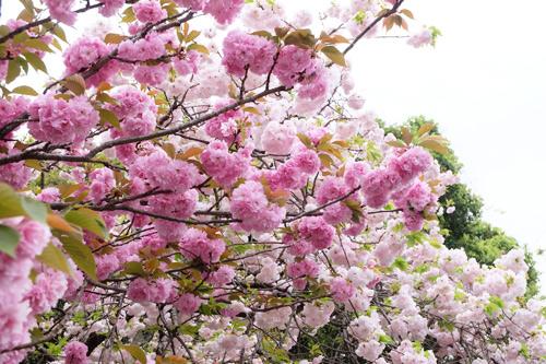 20170420八重桜1
