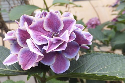 20170623紫陽花