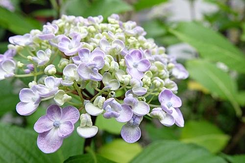 20170611紫陽花