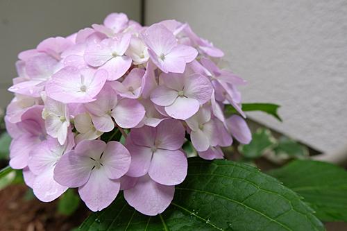 20170620紫陽花