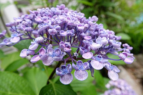 20170628紫陽花