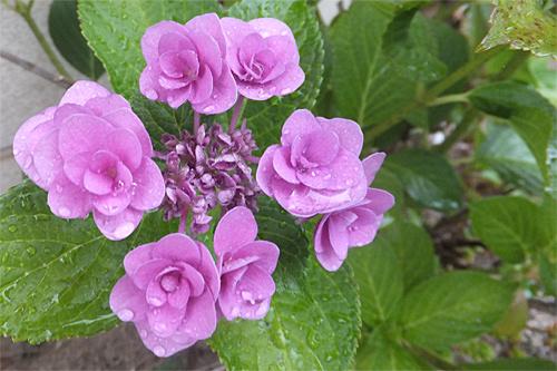 20170630紫陽花