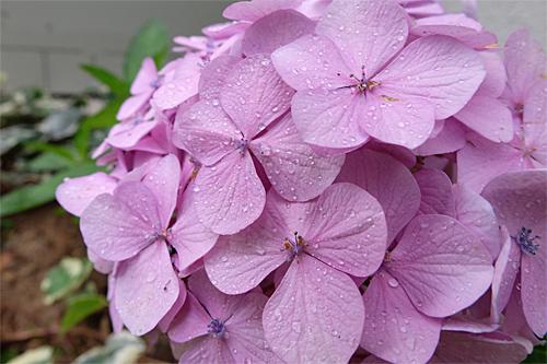 20170704紫陽花