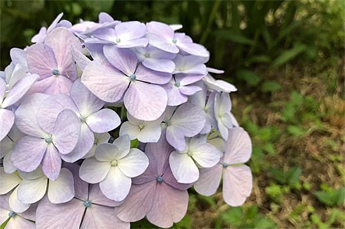 20180626紫陽花