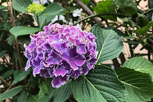 20180605紫陽花1