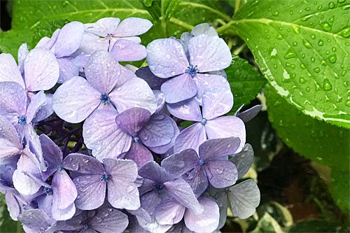 20180705紫陽花