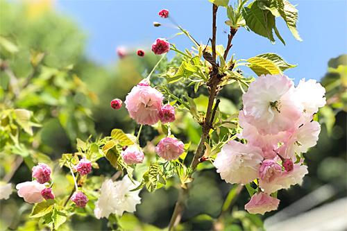 20190420八重桜