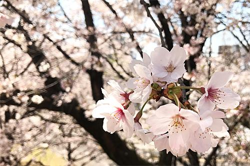 20190404お花見2