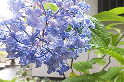20200707紫陽花