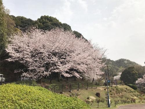 20210330桜2