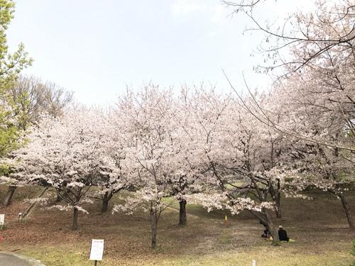 20210330桜1