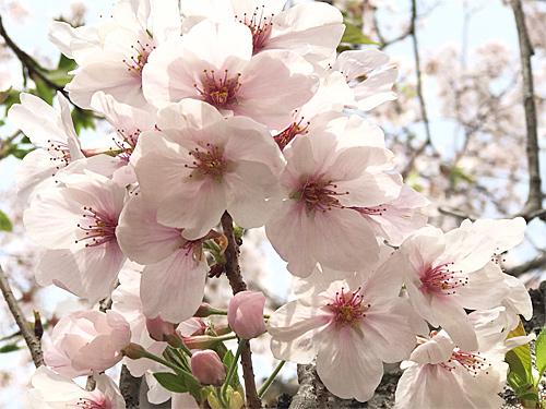 20210330桜7