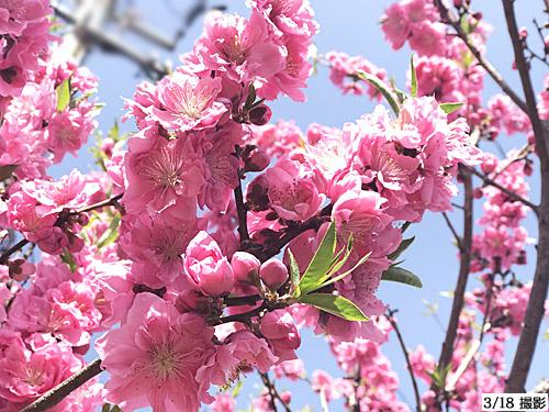 20210319桃の花