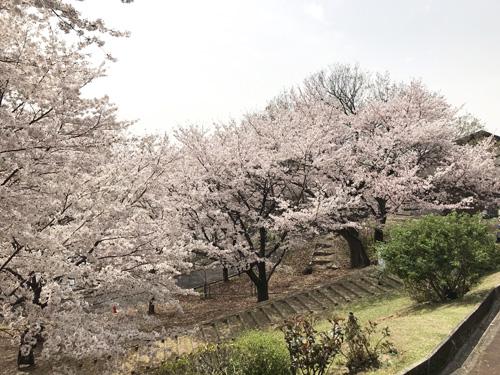 20210330桜4