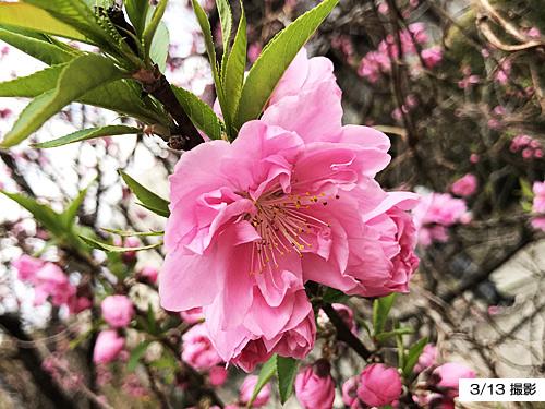 20210313桃の花