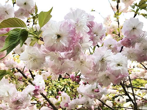 20210408八重桜ー松月
